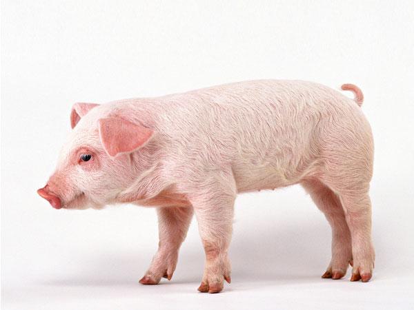 迪发猪用酶制剂