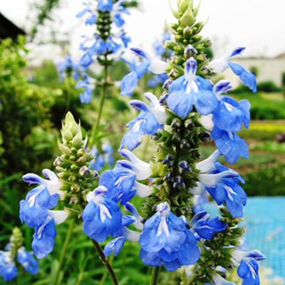 天蓝鼠尾草